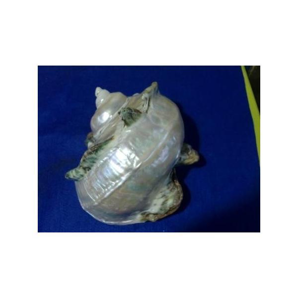 夜光貝形状保存真珠層磨きA級品|deepseawartergm0