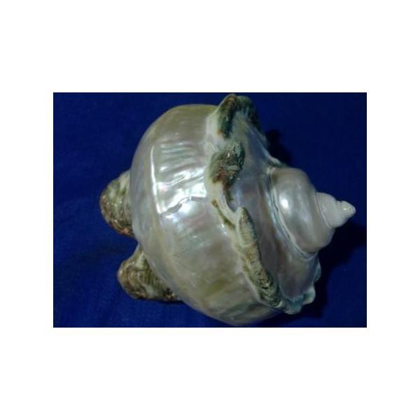 夜光貝形状保存真珠層磨きA級品|deepseawartergm0|02