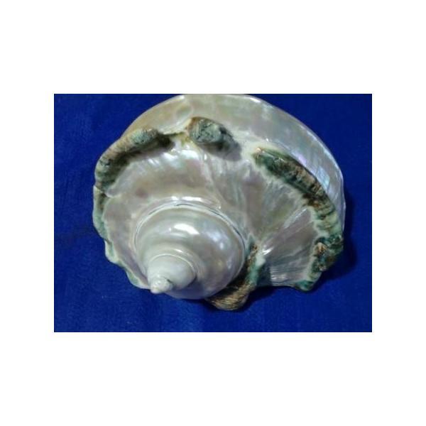 夜光貝形状保存真珠層磨きA級品|deepseawartergm0|03