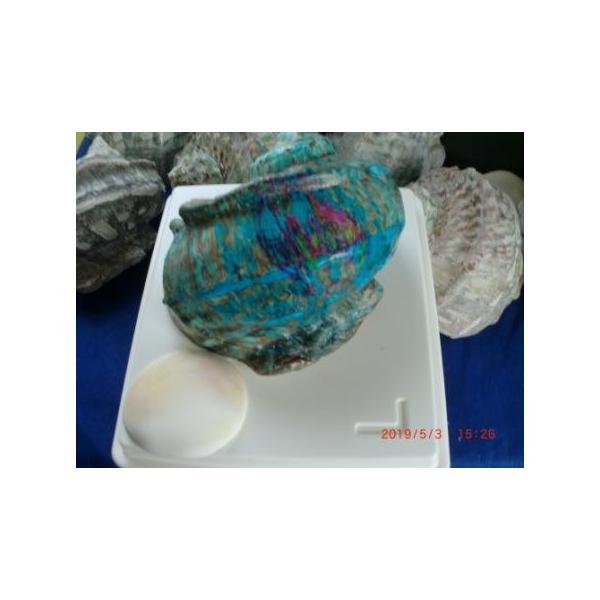 生表面磨き夜光貝殻大サイズ201801|deepseawartergm0