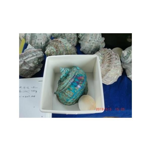 生表面磨き夜光貝殻大サイズ201801|deepseawartergm0|02