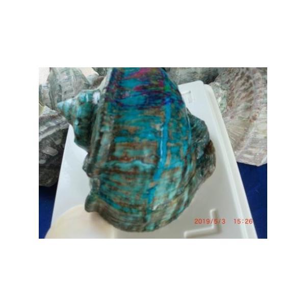 生表面磨き夜光貝殻大サイズ201801|deepseawartergm0|03