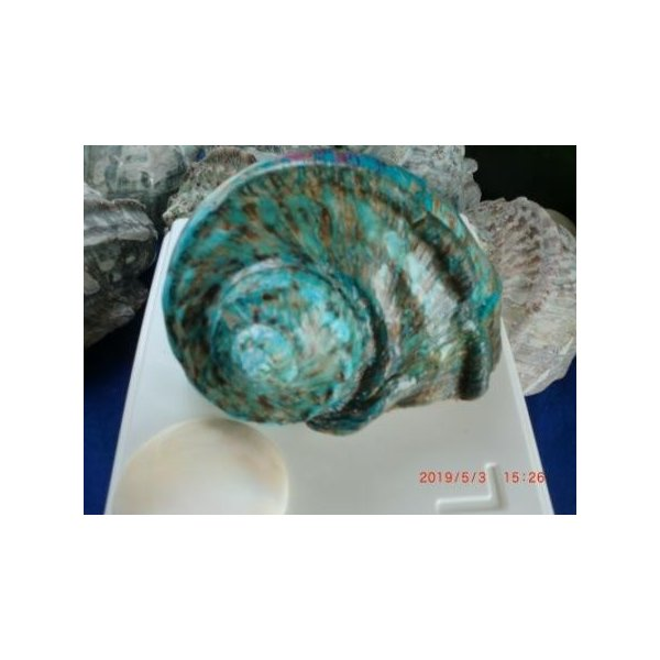 生表面磨き夜光貝殻大サイズ201801|deepseawartergm0|05