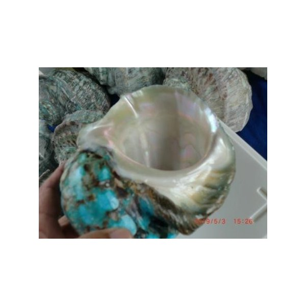生表面磨き夜光貝殻大サイズ201801|deepseawartergm0|06