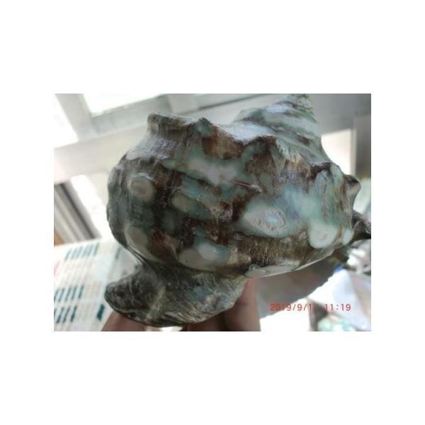 生表面磨き夜光貝殻特大サイズ201801|deepseawartergm0|03