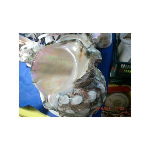 生表面磨き夜光貝殻特大サイズ201801|deepseawartergm0|05