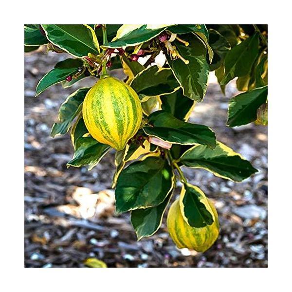 レモン ピンクレモネード 苗木 15cmポット 2年生 接木苗 樹高約60cm 1本売り 果樹 即出荷 鉢植え 年中植付け可能 生育温度 12〜30℃