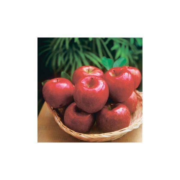 (贈答用:予約販売・送料込:12月初旬から出荷予定)期間限定!信州りんご 特選完熟サンふじ 大玉10kg(約26個〜36個入)