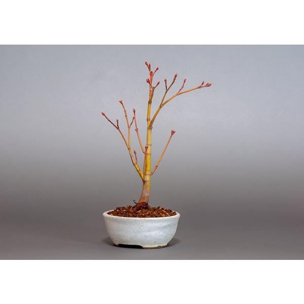 盆栽 コハウチワカエデ盆栽(小羽団扇楓 盆栽)3799|e-bonsai