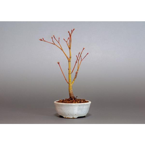 盆栽 コハウチワカエデ盆栽(小羽団扇楓 盆栽)3799|e-bonsai|02