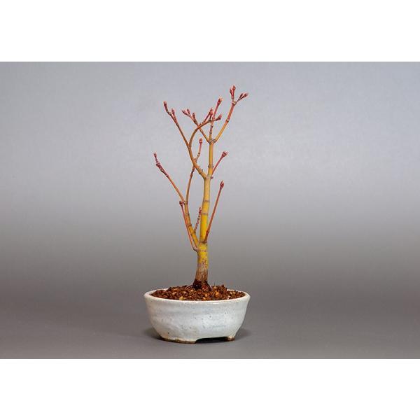 盆栽 コハウチワカエデ盆栽(小羽団扇楓 盆栽)3799|e-bonsai|03