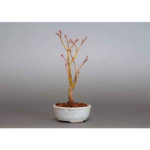 盆栽 コハウチワカエデ盆栽(小羽団扇楓 盆栽)3799|e-bonsai|04