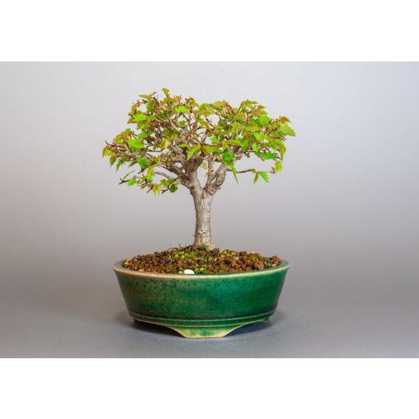 盆栽 ケヤキ盆栽 欅(けやき・ミニ盆栽 箒立ち欅)3814|e-bonsai