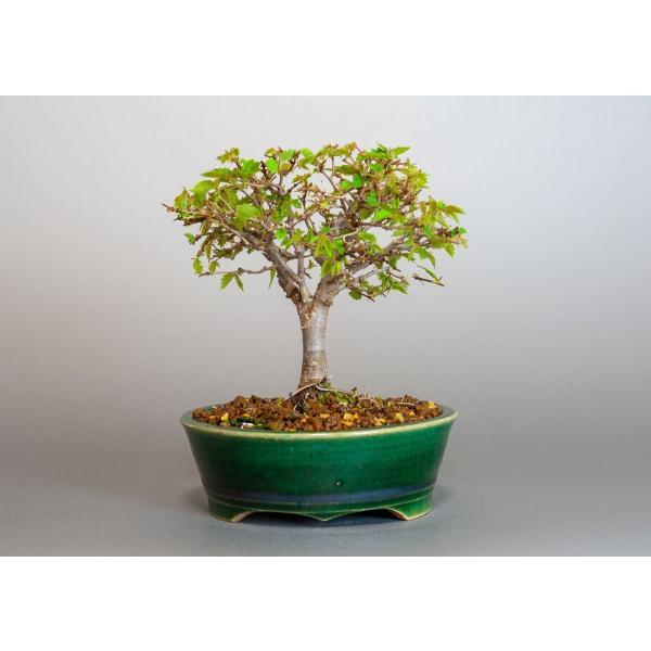 盆栽 ケヤキ盆栽 欅(けやき・ミニ盆栽 箒立ち欅)3814|e-bonsai|02