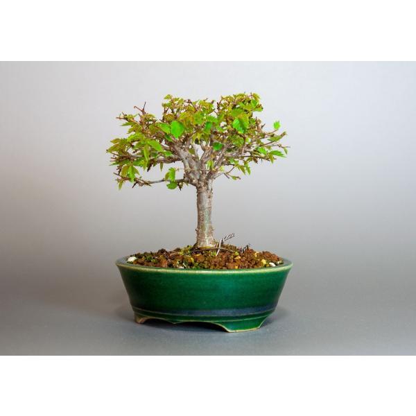盆栽 ケヤキ盆栽 欅(けやき・ミニ盆栽 箒立ち欅)3814|e-bonsai|03