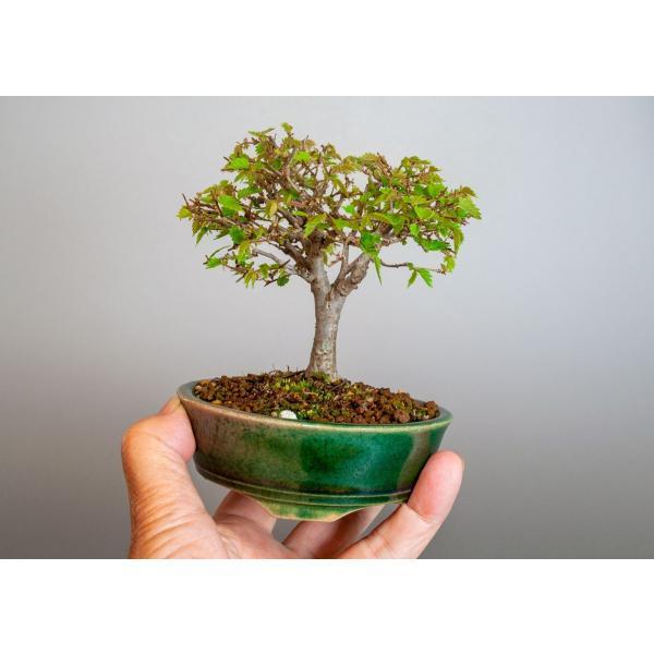盆栽 ケヤキ盆栽 欅(けやき・ミニ盆栽 箒立ち欅)3814|e-bonsai|05