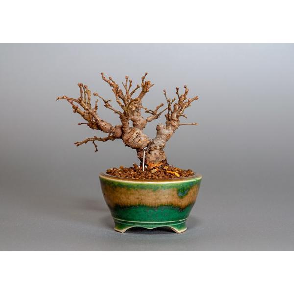 豆盆栽 ニレケヤキ盆栽(楡欅・にれけやき 小さな盆栽)3817|e-bonsai|02