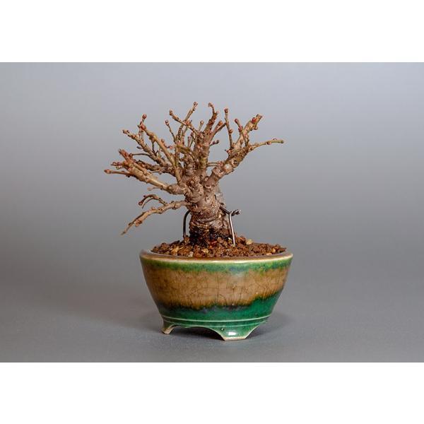 豆盆栽 ニレケヤキ盆栽(楡欅・にれけやき 小さな盆栽)3817|e-bonsai|03
