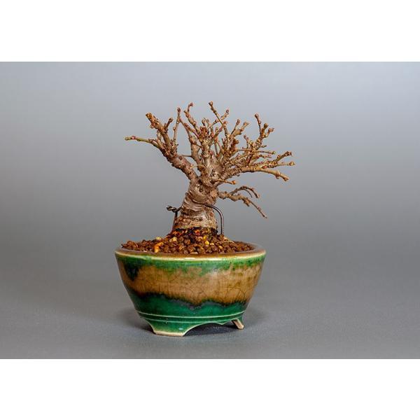 豆盆栽 ニレケヤキ盆栽(楡欅・にれけやき 小さな盆栽)3817|e-bonsai|04