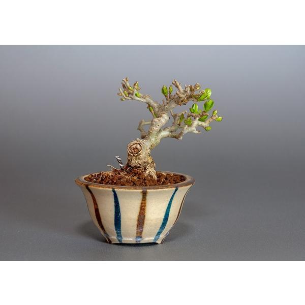 豆盆栽 荒皮性イボタノキ盆栽(水蝋の木・いぼたのき 小さな盆栽)3818|e-bonsai|02