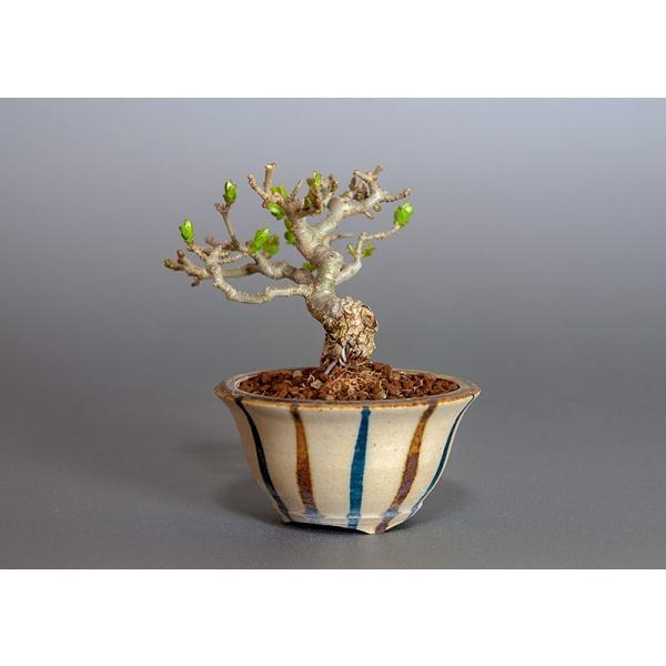 豆盆栽 荒皮性イボタノキ盆栽(水蝋の木・いぼたのき 小さな盆栽)3818|e-bonsai|03