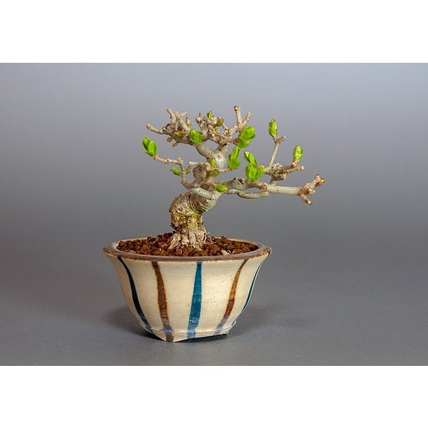 豆盆栽 荒皮性イボタノキ盆栽(水蝋の木・いぼたのき 小さな盆栽)3818|e-bonsai|04