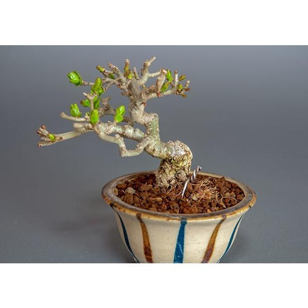 豆盆栽 荒皮性イボタノキ盆栽(水蝋の木・いぼたのき 小さな盆栽)3818|e-bonsai|05