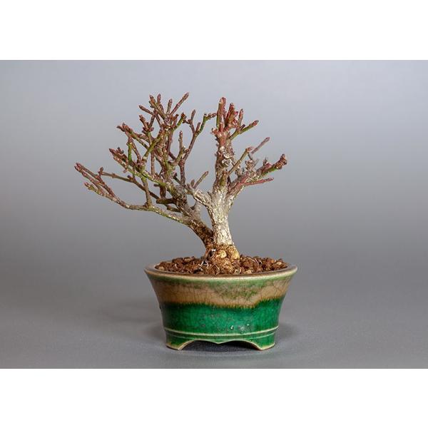 ミニ盆栽 コマユミ盆栽 三幹樹形(こまゆみ・ミニ盆栽 小真弓)3819|e-bonsai|02