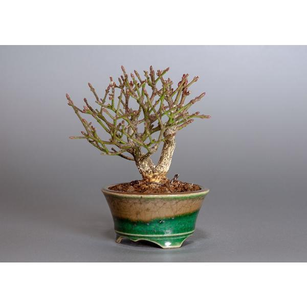 ミニ盆栽 コマユミ盆栽 三幹樹形(こまゆみ・ミニ盆栽 小真弓)3819|e-bonsai|03