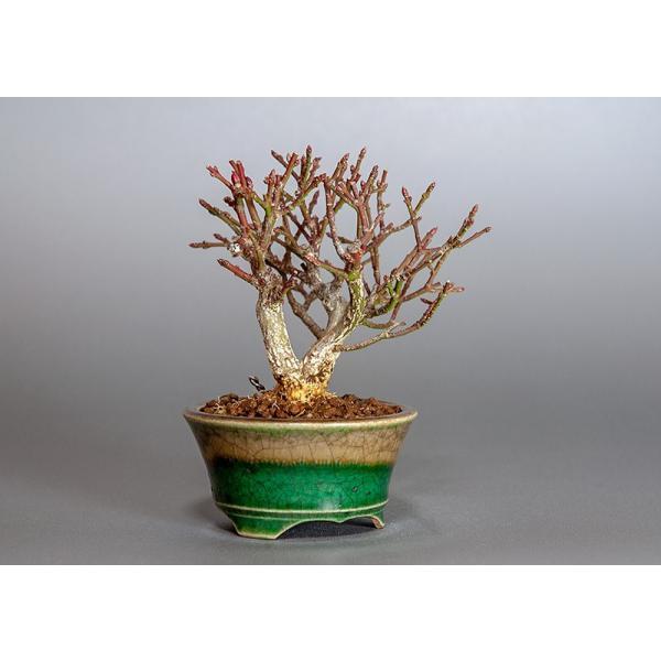 ミニ盆栽 コマユミ盆栽 三幹樹形(こまゆみ・ミニ盆栽 小真弓)3819|e-bonsai|04