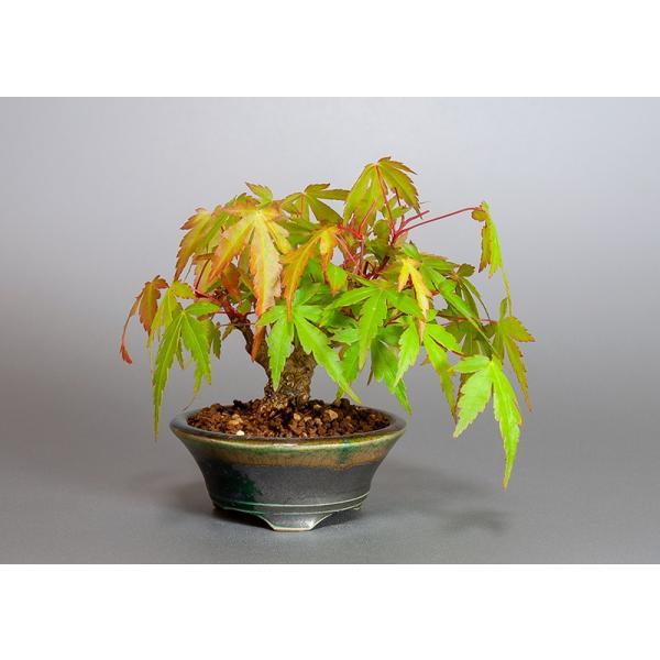 ミニ盆栽 イロハモミジ盆栽 紅葉(いろは紅葉・小さな盆栽 紅葉)3829|e-bonsai