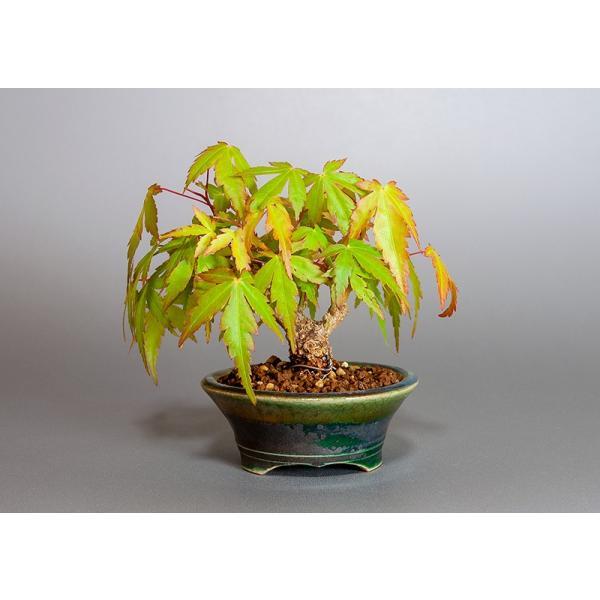 ミニ盆栽 イロハモミジ盆栽 紅葉(いろは紅葉・小さな盆栽 紅葉)3829|e-bonsai|02