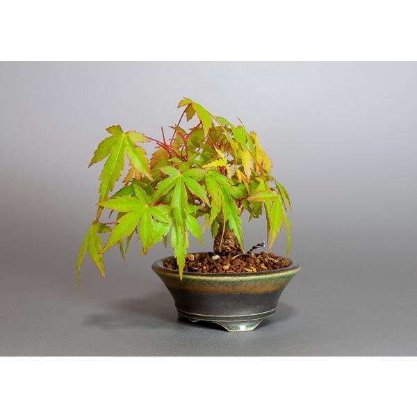 ミニ盆栽 イロハモミジ盆栽 紅葉(いろは紅葉・小さな盆栽 紅葉)3829|e-bonsai|03