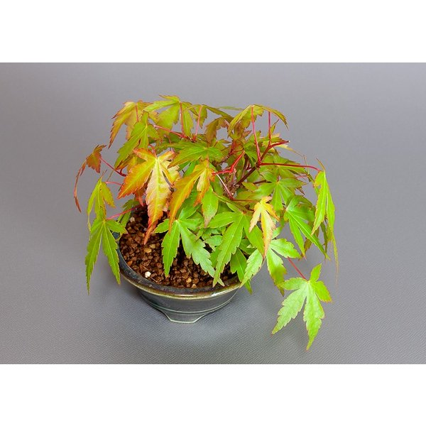 ミニ盆栽 イロハモミジ盆栽 紅葉(いろは紅葉・小さな盆栽 紅葉)3829|e-bonsai|05