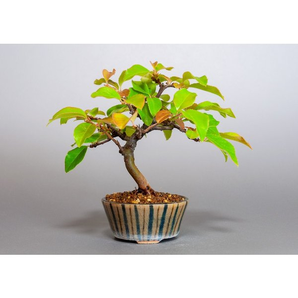 ミニ盆栽 カリン盆栽 花梨(かりん・ミニ盆栽 花梨)3838 e-bonsai