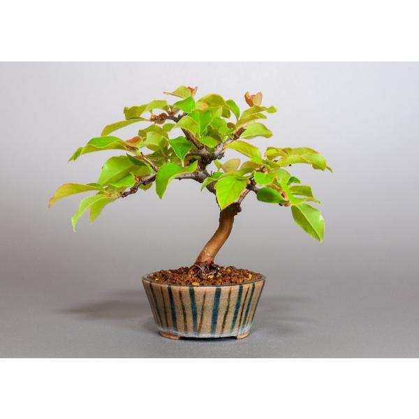 ミニ盆栽 カリン盆栽 花梨(かりん・ミニ盆栽 花梨)3838 e-bonsai 02