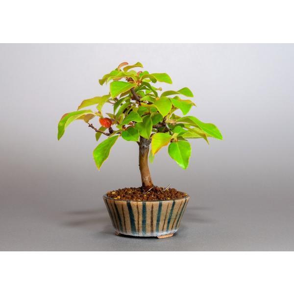ミニ盆栽 カリン盆栽 花梨(かりん・ミニ盆栽 花梨)3838 e-bonsai 03