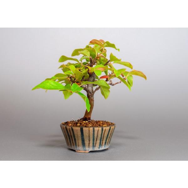 ミニ盆栽 カリン盆栽 花梨(かりん・ミニ盆栽 花梨)3838 e-bonsai 04