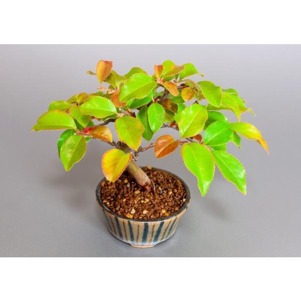 ミニ盆栽 カリン盆栽 花梨(かりん・ミニ盆栽 花梨)3838 e-bonsai 05