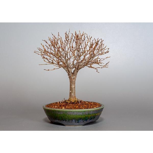 盆栽 ケヤキ盆栽 欅(けやき・ミニ盆栽 箒立ち欅)3840|e-bonsai