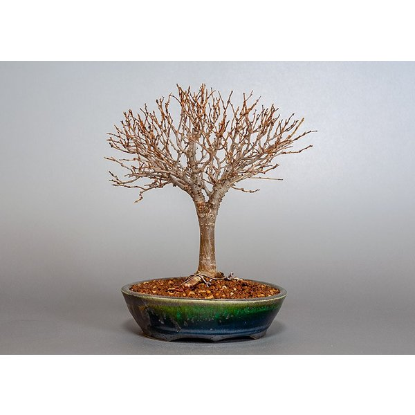 盆栽 ケヤキ盆栽 欅(けやき・ミニ盆栽 箒立ち欅)3840|e-bonsai|02