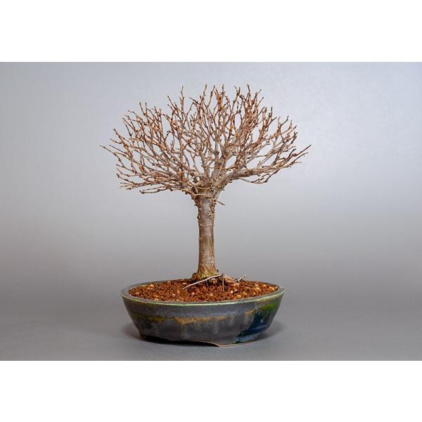 盆栽 ケヤキ盆栽 欅(けやき・ミニ盆栽 箒立ち欅)3840|e-bonsai|03