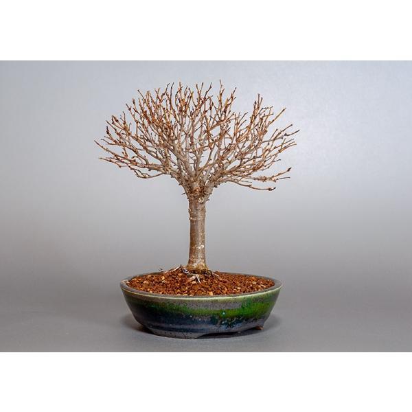 盆栽 ケヤキ盆栽 欅(けやき・ミニ盆栽 箒立ち欅)3840|e-bonsai|04