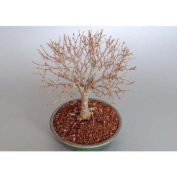 盆栽 ケヤキ盆栽 欅(けやき・ミニ盆栽 箒立ち欅)3840|e-bonsai|05