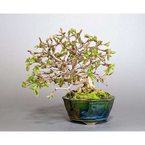 盆栽 イワシデ盆栽(いわしで・岩四手 盆栽)小品盆栽 3855|e-bonsai