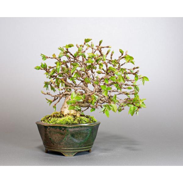 盆栽 イワシデ盆栽(いわしで・岩四手 盆栽)小品盆栽 3855|e-bonsai|02