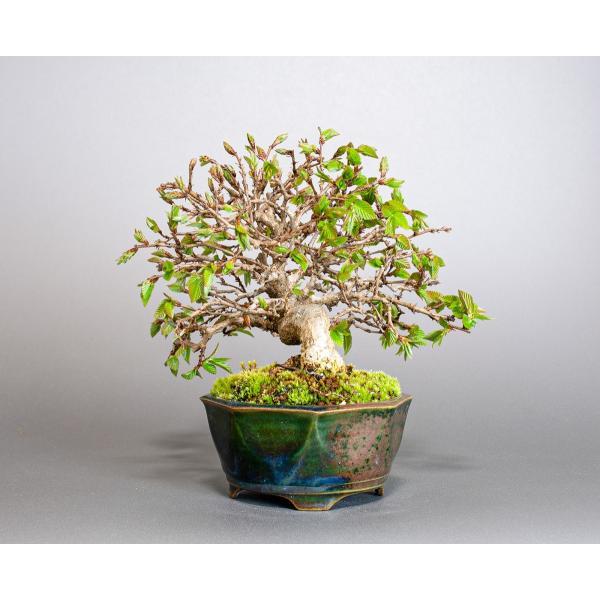 盆栽 イワシデ盆栽(いわしで・岩四手 盆栽)小品盆栽 3855|e-bonsai|03