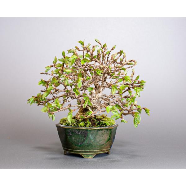 盆栽 イワシデ盆栽(いわしで・岩四手 盆栽)小品盆栽 3855|e-bonsai|04