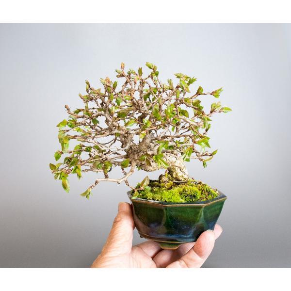 盆栽 イワシデ盆栽(いわしで・岩四手 盆栽)小品盆栽 3855|e-bonsai|05