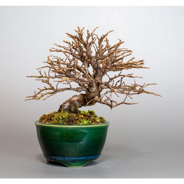盆栽 ニレケヤキ盆栽(楡欅 小品盆栽)3881|e-bonsai